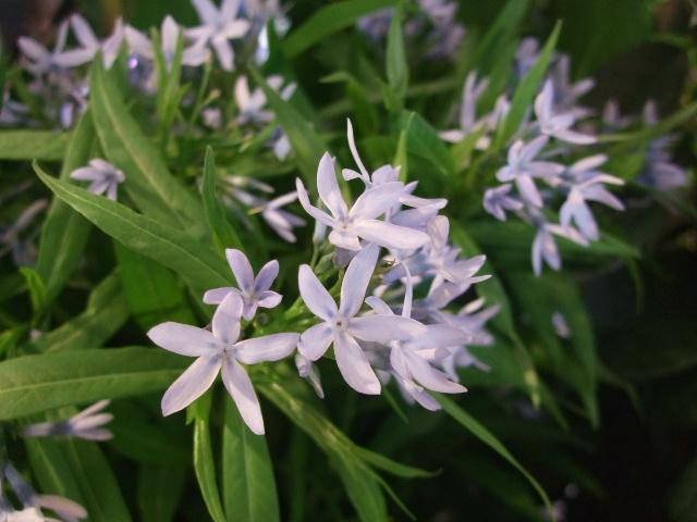 オークリーフ(サルビアの花)_f0049672_12193816.jpg