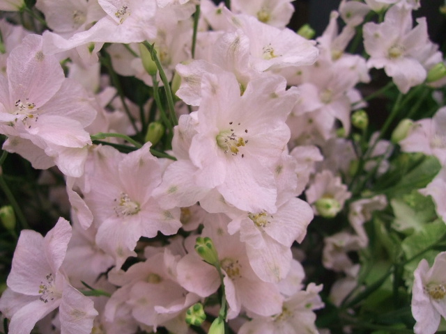 オークリーフ(サルビアの花)_f0049672_12195112.jpg