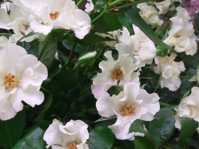 オークリーフ(サルビアの花)_f0049672_1220622.jpg