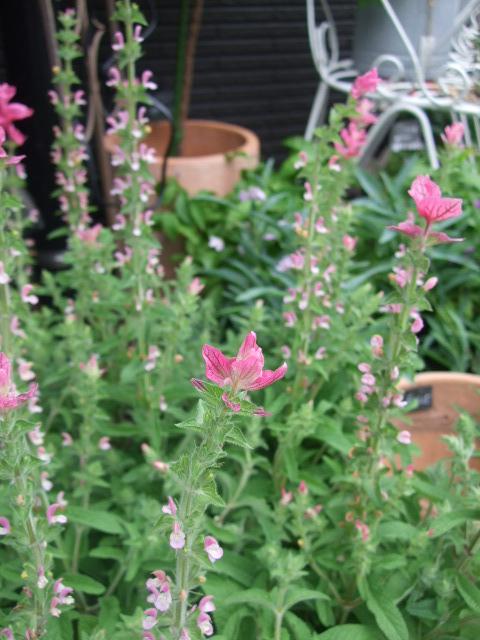 オークリーフ(サルビアの花)_f0049672_1295656.jpg