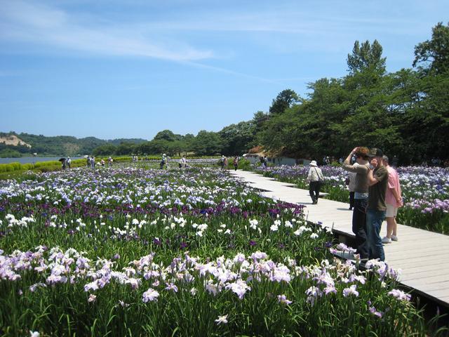 20万株の花菖蒲が咲き誇る!_f0229508_8534882.jpg