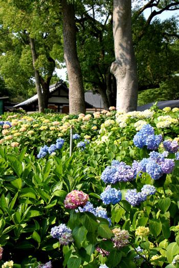 藤の森神社 あじさいまつり_e0048413_1810893.jpg