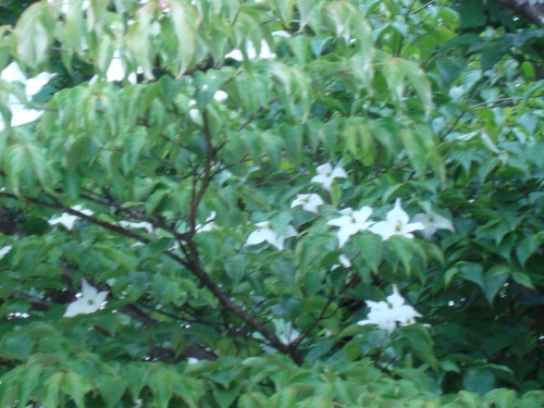 空木(ウツギ)とヤマボウシ 夏は来ぬ_c0118352_7181833.jpg