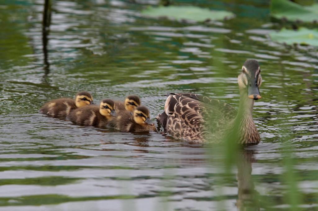 幼鳥と言えば定番はカルガモ_b0024798_4481351.jpg