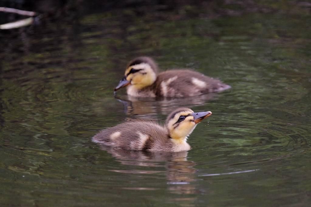幼鳥と言えば定番はカルガモ_b0024798_44901.jpg
