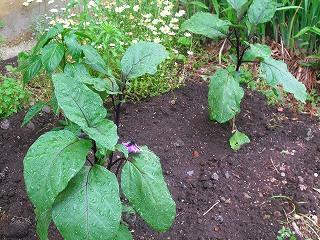 花壇に新しい仲間_e0160569_2115142.jpg