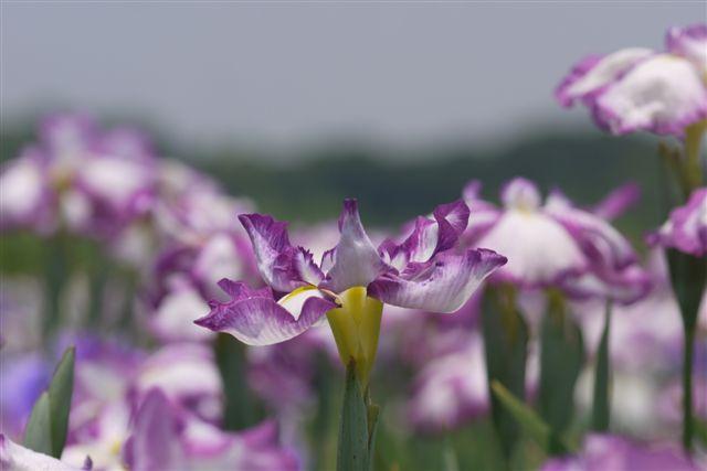 小岩菖蒲園の花菖蒲いろいろ。。。_b0175688_15221816.jpg