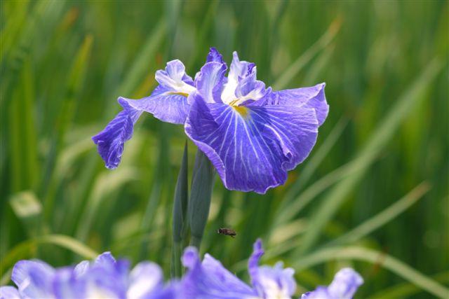 小岩菖蒲園の花菖蒲いろいろ。。。_b0175688_15224187.jpg