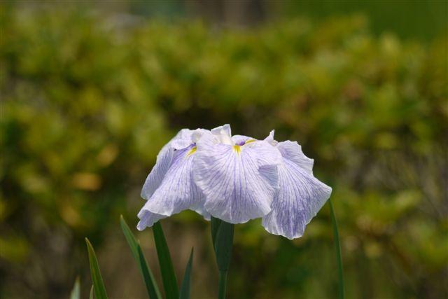 小岩菖蒲園の花菖蒲いろいろ。。。_b0175688_15233739.jpg