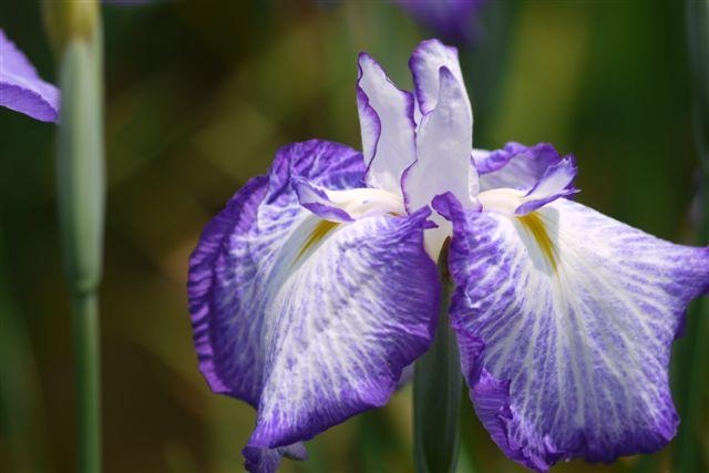 小岩菖蒲園の花菖蒲いろいろ。。。_b0175688_1523426.jpg
