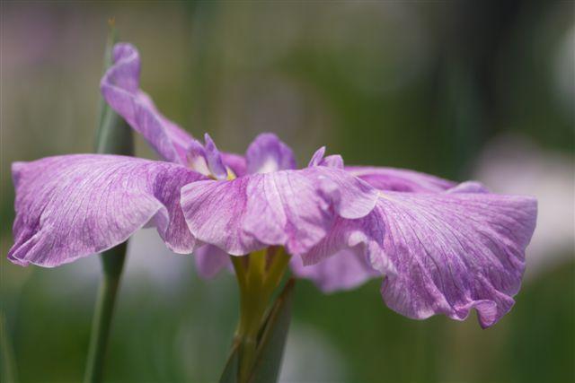 小岩菖蒲園の花菖蒲いろいろ。。。_b0175688_15241958.jpg