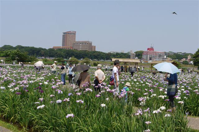小岩菖蒲園の花菖蒲いろいろ。。。_b0175688_15272849.jpg