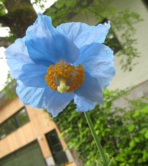 ヒマラヤの青いケシ_c0123773_15233354.jpg