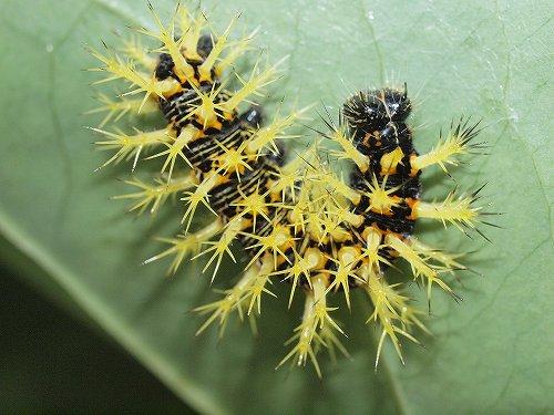 昆虫 > 幼虫・蛹・卵 > 蝶の幼虫 : 山野の虫と生物