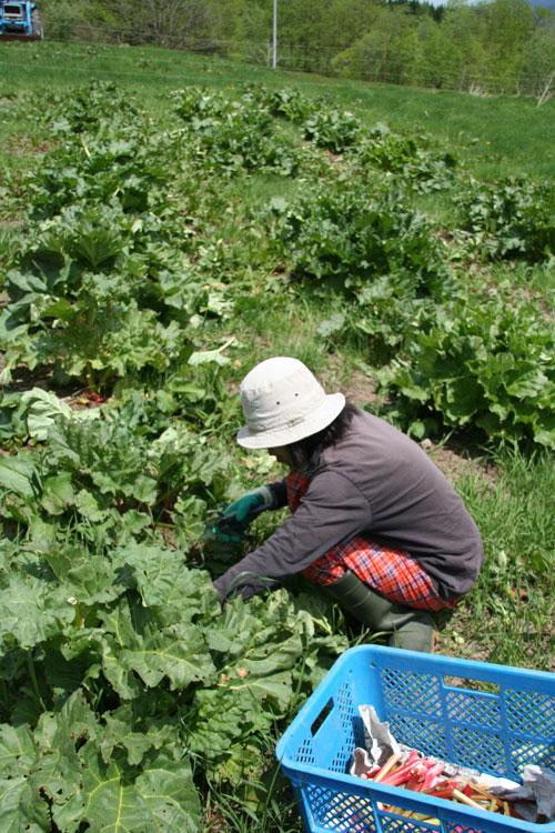 2010.6.2  ルバーブを収穫してジャムにしました_d0160199_2310385.jpg