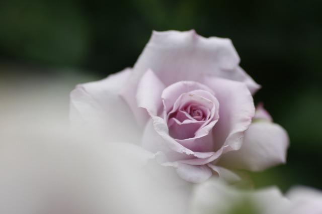 ・・・バラに埋もれて 2 ・・・_c0155950_1913089.jpg