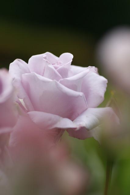 ・・・バラに埋もれて 5 ・・・_c0155950_19154328.jpg