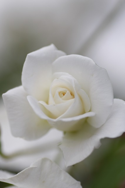・・・バラに埋もれて 7 ・・・_c0155950_1917257.jpg