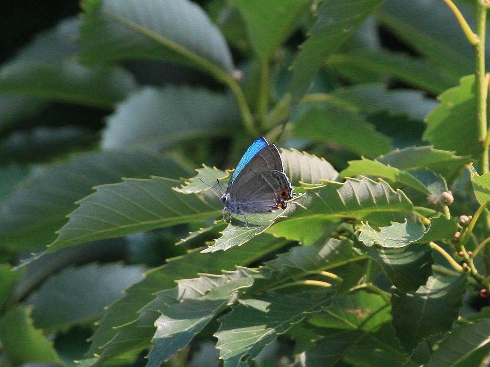 オオミドリシジミ 緑が翅表いっぱいに広がって。 2010.6.12-13_a0146869_7183771.jpg