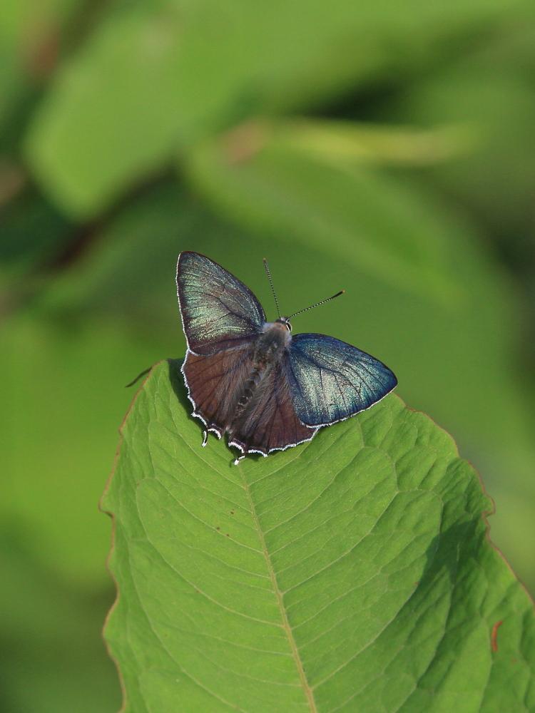 オオミドリシジミ 緑が翅表いっぱいに広がって。 2010.6.12-13_a0146869_7185135.jpg