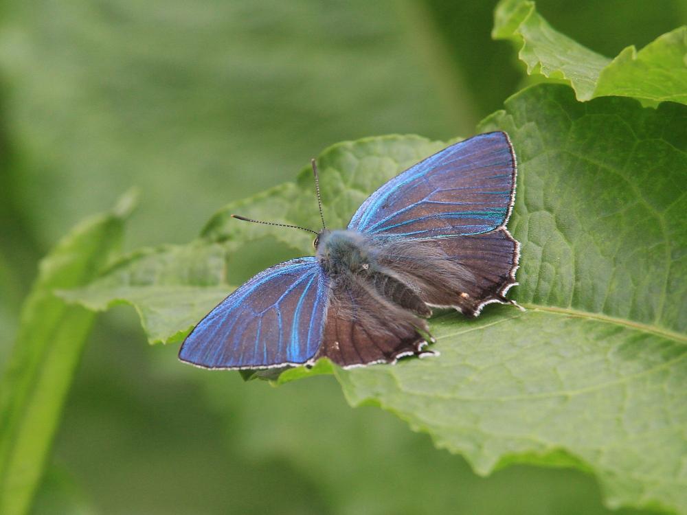 オオミドリシジミ 緑が翅表いっぱいに広がって。 2010.6.12-13_a0146869_7193126.jpg