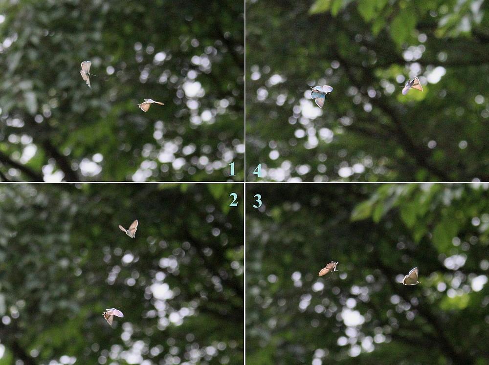 オオミドリシジミ 緑が翅表いっぱいに広がって。 2010.6.12-13_a0146869_7211693.jpg