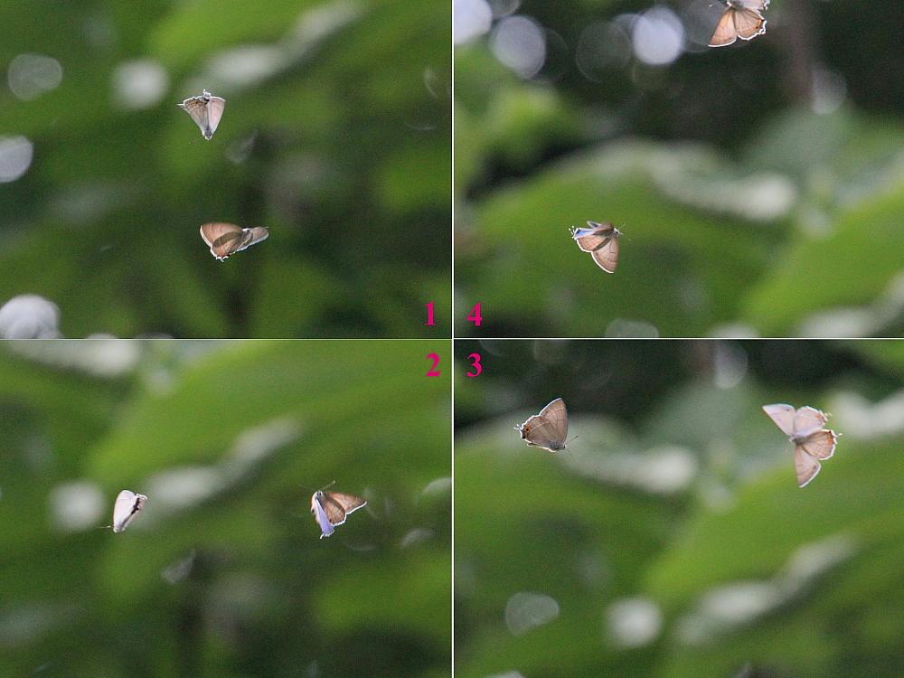 オオミドリシジミ 緑が翅表いっぱいに広がって。 2010.6.12-13_a0146869_721471.jpg