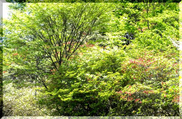 三窪高原のレンゲツツジ_c0073016_20355077.jpg