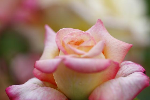 ・・・バラに埋もれて 4 ・・・_c0155950_7395618.jpg