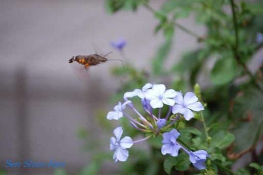 庭に蜂雀(ホウジャク)_a0164068_23335616.jpg