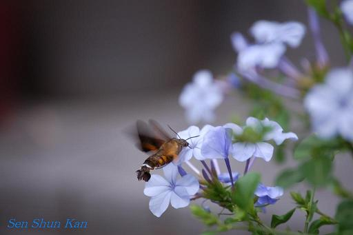 庭に蜂雀(ホウジャク)_a0164068_23341568.jpg