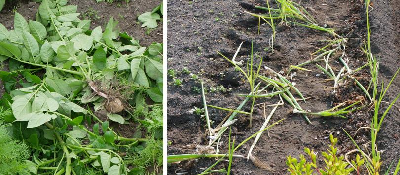 家庭菜園被害の季節  6月11、12日 2010年_e0005362_2017482.jpg