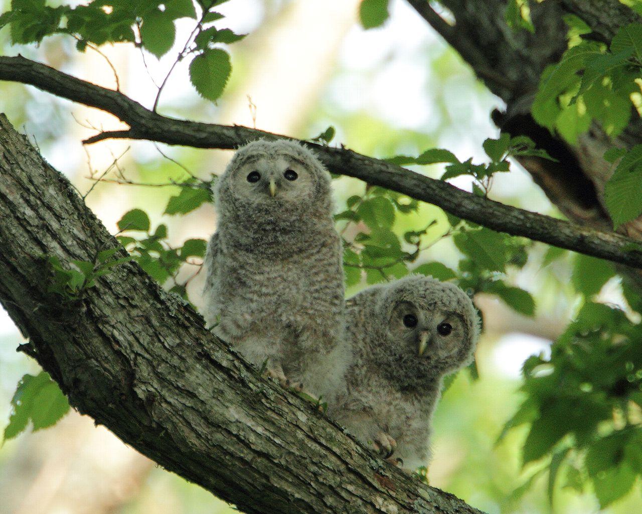 エゾフクロウの雛ちゃん2羽に会えました。_f0105570_22344369.jpg