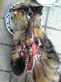 町田市猫虐待…預かりさん、里親さん、ご支援のお願い_c0167175_2144376.jpg