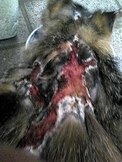 町田市猫虐待…預かりさん、里親さん、ご支援のお願い_c0167175_2151959.jpg