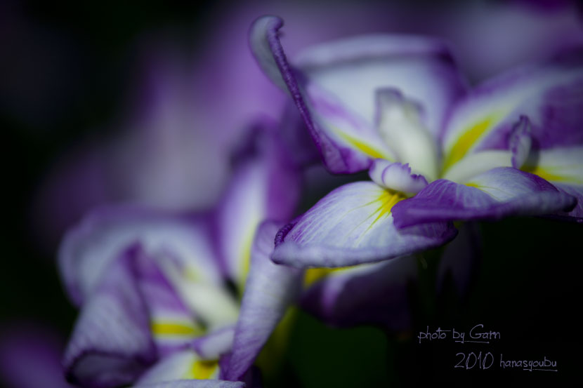 紫艶_f0195893_8121623.jpg