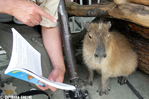How (not) to be reading capybara_f0138828_19594332.jpg