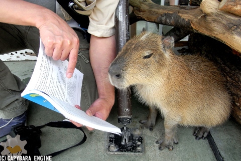 How (not) to be reading capybara_f0138828_19595233.jpg