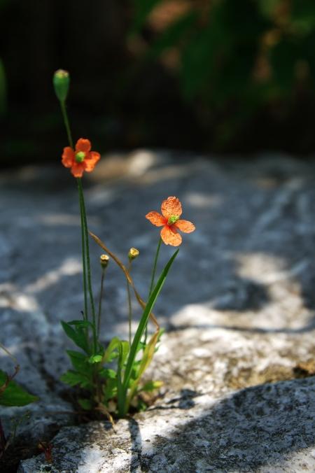 初夏の伊吹山 お花畑にて~♪_d0145934_20235265.jpg