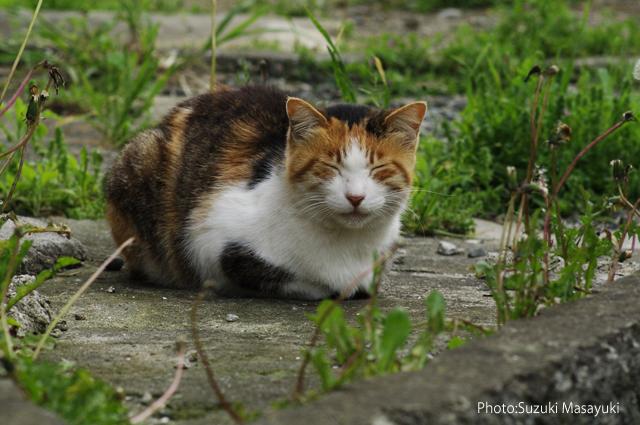 三毛猫の画像 p1_11