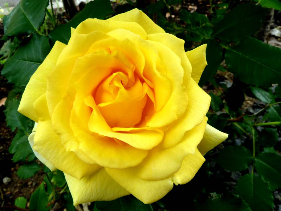 薔薇 「ゴールドバニー」_f0150893_17464437.jpg