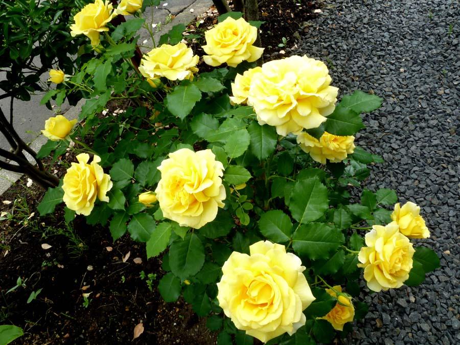 薔薇 「ゴールドバニー」_f0150893_17572635.jpg