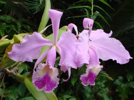 C.gigas f.coerulea \'Helen de Ospina\'×self_d0007501_10504768.jpg