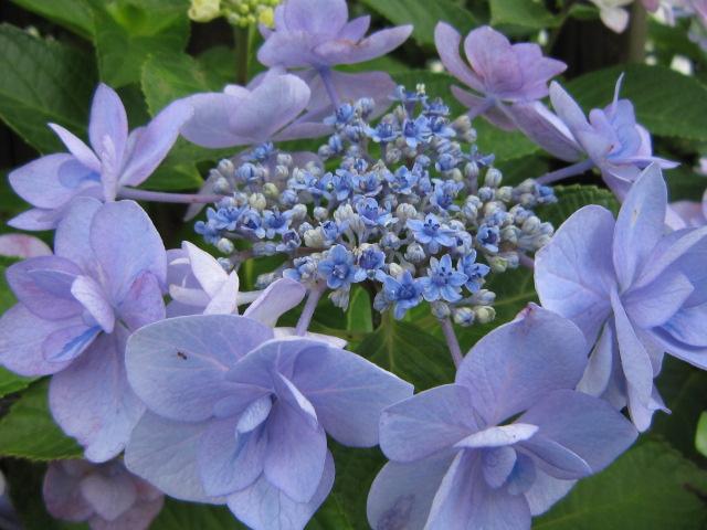 この花も毎年 奇跡の雄しべを出してくれます。今日も発見!今期の八重ガク交...  七海のクリスマ