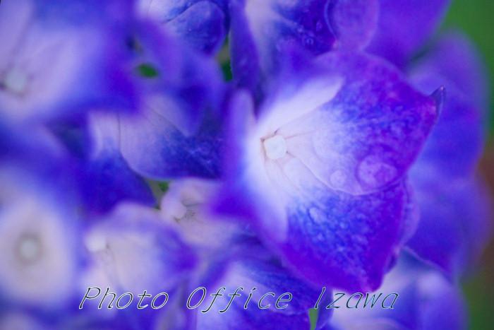 紫陽花(2)・・・瑞々しく色っぽく_c0181958_032769.jpg