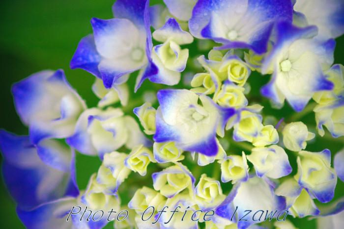 紫陽花(2)・・・瑞々しく色っぽく_c0181958_0405.jpg