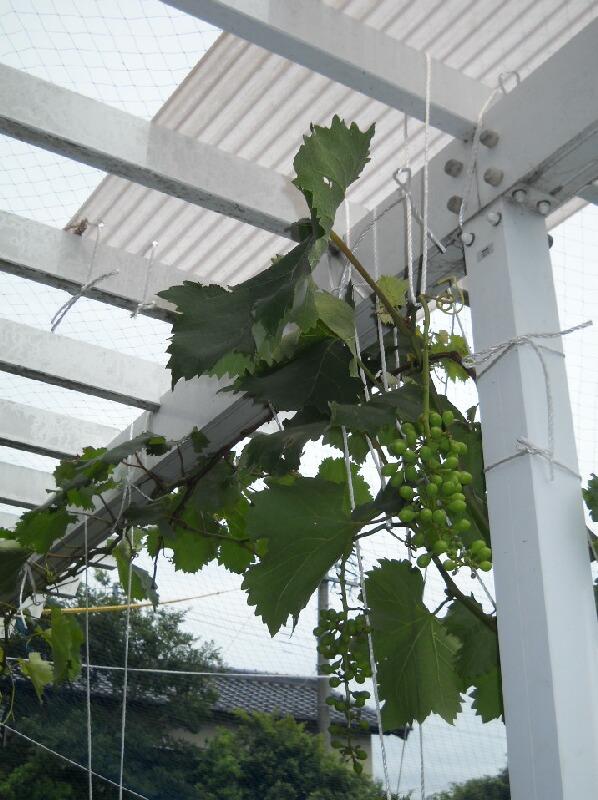葡萄の波板での雨除けと果樹の近況 _f0018078_18512671.jpg