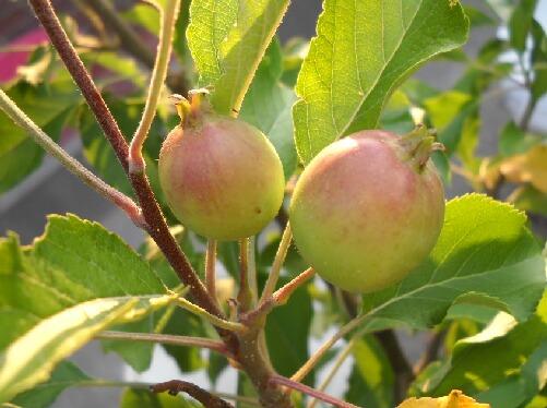 葡萄の波板での雨除けと果樹の近況 _f0018078_18514941.jpg