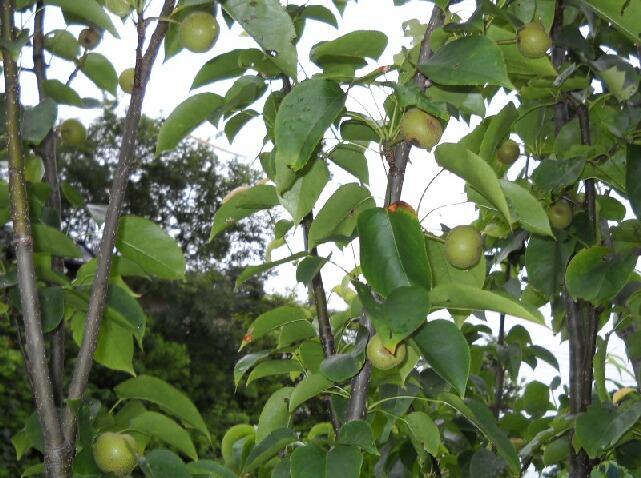 葡萄の波板での雨除けと果樹の近況 _f0018078_1852163.jpg