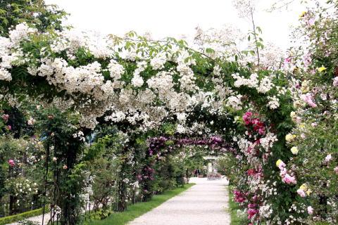 「L\'Hay-les-Roses」のバラ_c0090198_4395011.jpg